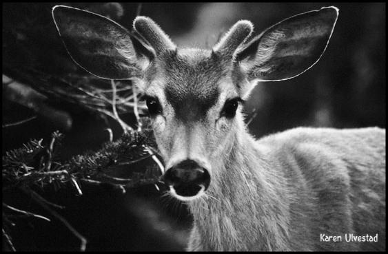 1995-mule-deer-portrait-bwee
